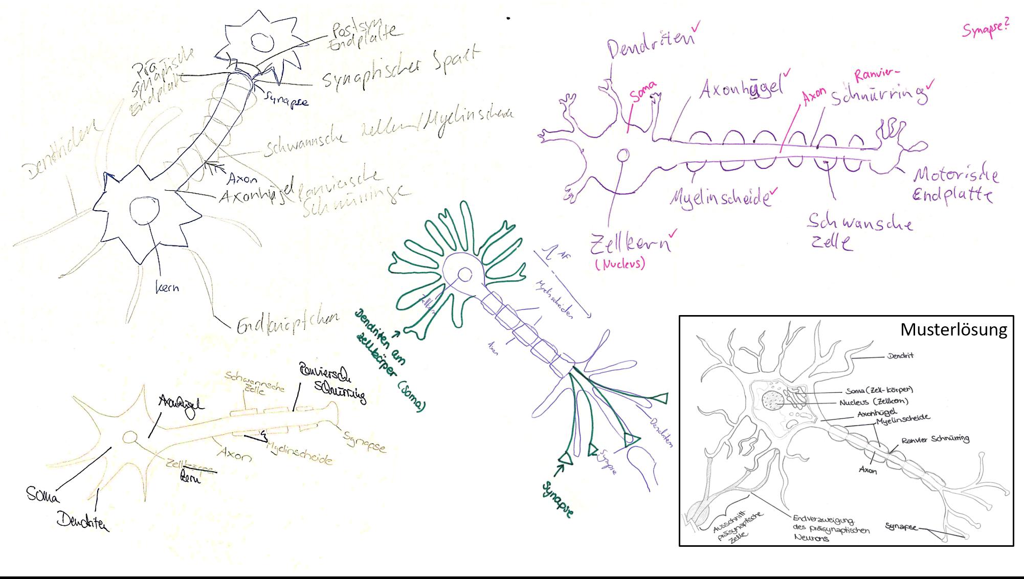 Abb. 1: Studierende zeichnen eine Nervenzelle. Nach dem fachlichen Input durch eine Lehrperson, verbessern Sie die Zeichnung eines Mitstudenten oder -studentin und interpretieren die Fehler.